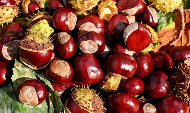 Sběr kaštanů a žaludů